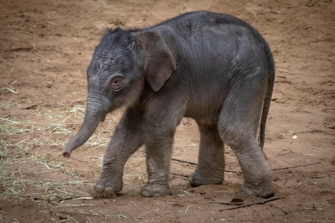 elephant-4020798_1920