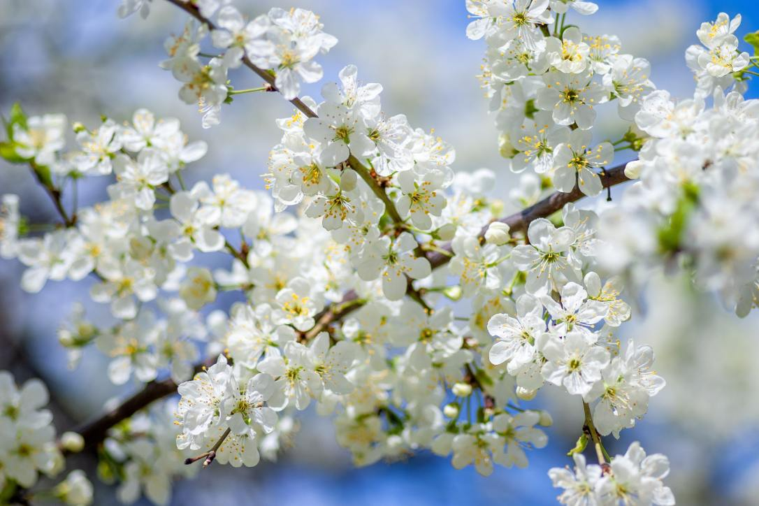 National Trust Blossom Watch